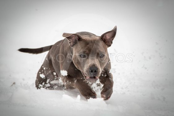 staffordshire bull terrier running in the snow