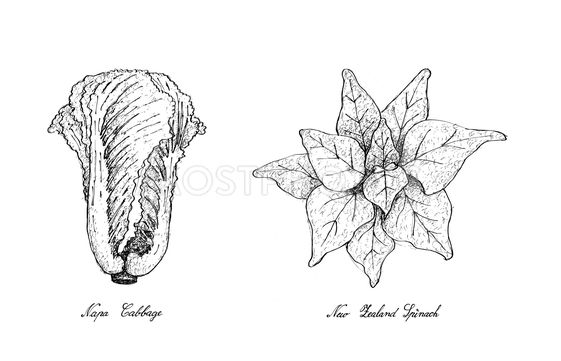Hand Drawn of Napa Cabbage and New Zealand Spinach