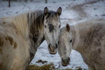 hästkärlek