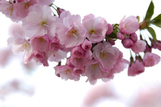 kirsikan