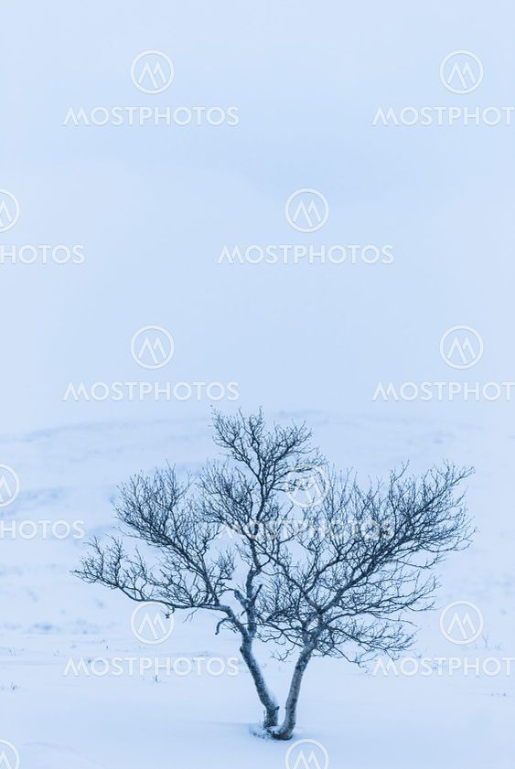 Birch tree on snow covered mountain
