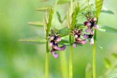 three stalks of bush vetch