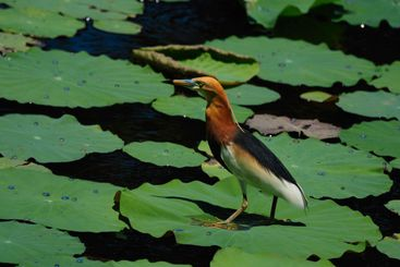Fishing Chinese Pond Heron.