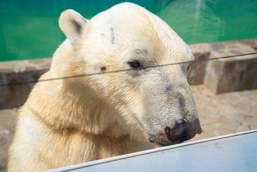 polar bear in zoo in aviary. shooting through glass.