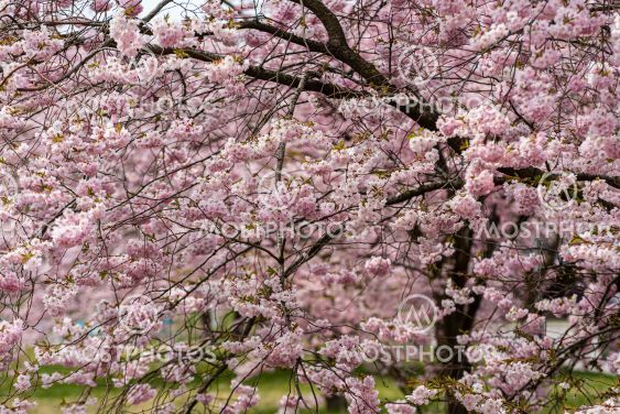 Cherry blossom in a park.