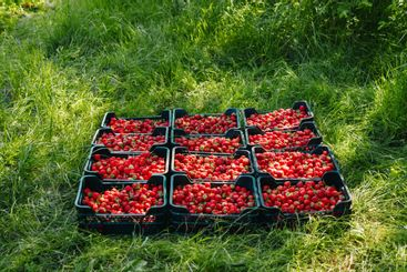 A lot of strawberries in a box on a green background, a...