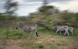 Zebra Swirl