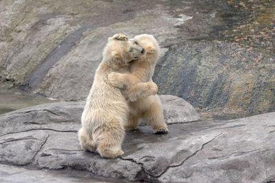 The small polar bears  on stones