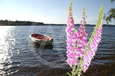 Nordisk sommarkväll, blommor och eka.