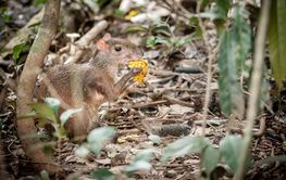 Agouti in Costa Rican forest