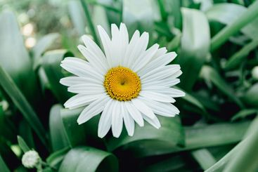 An horizontal shot of a daisy with a lot of petals