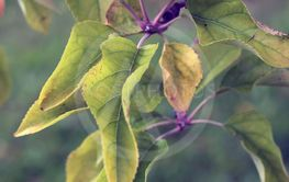 Leaves of an Apple Tree in Autumn