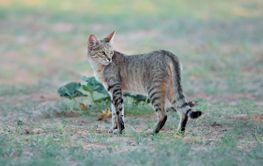 African wild cat in natural habitat