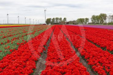 Colorful Dutch tulip fields with big wind turbines