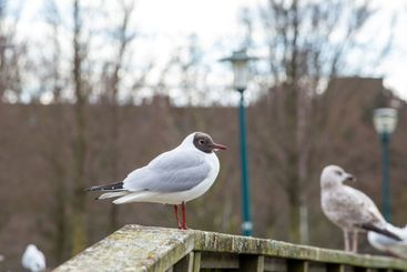 Standing Black headed gull in the city