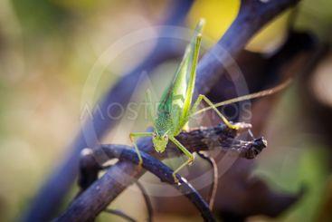 Chorthippus albomarginatus, Omocestus viridulus, Green...