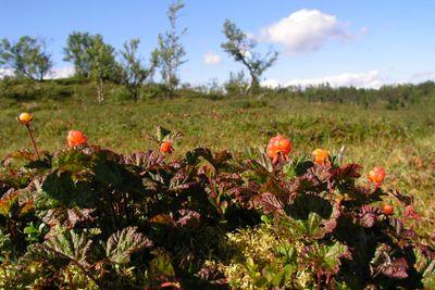 Cloudberries in mountain