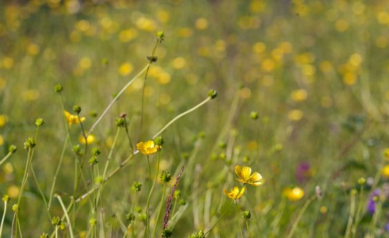 Yellow buttercups on a meadow.