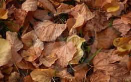 close-up of golden autumn foliage on meadow, Fallen...
