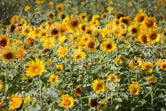Natural Sunflower Field
