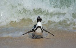 African penguin running on beach