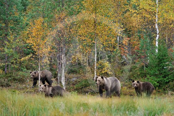 Brown bear family in the autumn