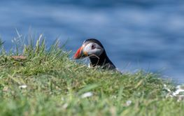 Puffin peeping over grass bank