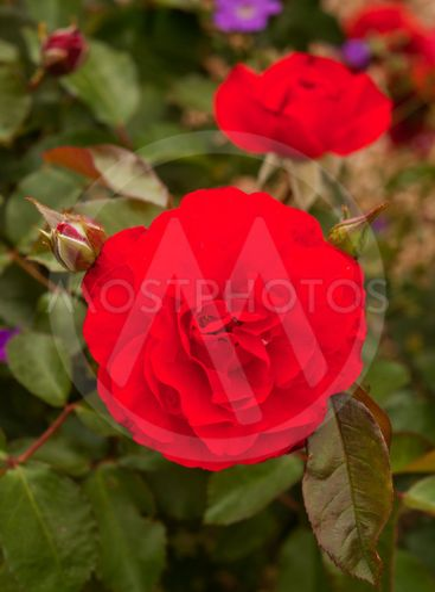 Trumpeter Rose Flower