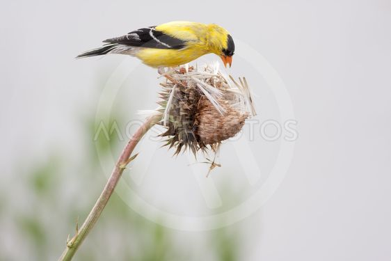Breeding Male American Goldfinch