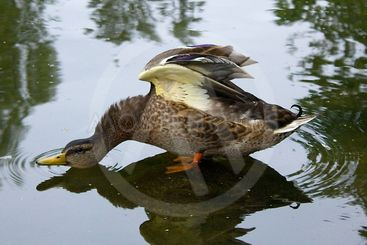 Stretching Duck