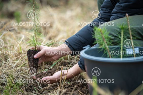plantation of young trees for forest regeneration after...