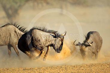 Blue wildebeest fighting