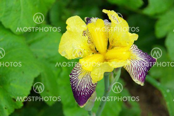 Schwertlilie - iris 38