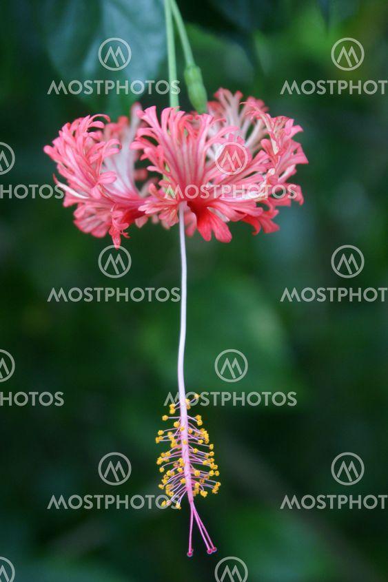 Hanging hibiscus