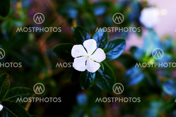 Beautiful White Flower with green leaves