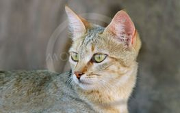 African wild cat portrait