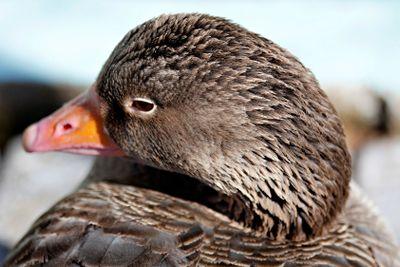 Bean goose closeup