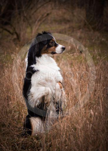 Australian shepherd dog is begging in reed.