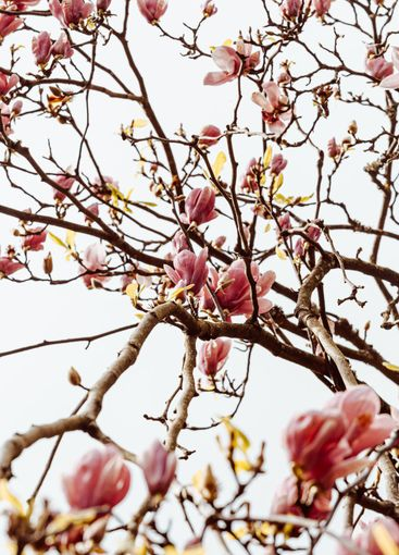 Background of tree with blooming flowers during the...