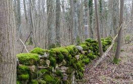 Grön mossbevuxen stenmur i en lövskog tidig vår