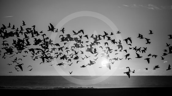 Silhouettes flock of seagulls over the Ocean....