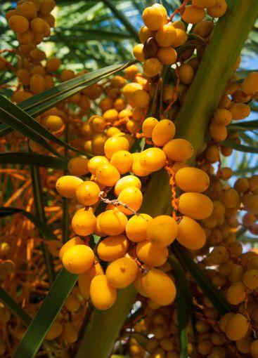 Orange Palm Fruits - Canary Date Palm