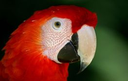 red macaw portrait
