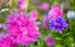 White and pink aster flowers at flowerbed