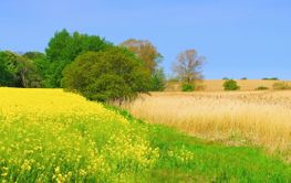 Rape field and reeds, idyllic landscape