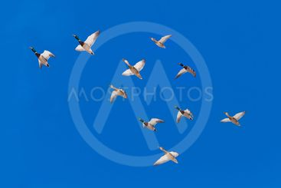 Flock of Mallard ducks Anas platyrhynchos flying