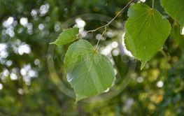 Blad från lindträd i närbild