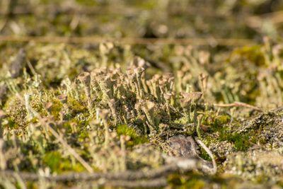 Grey lichen on ground
