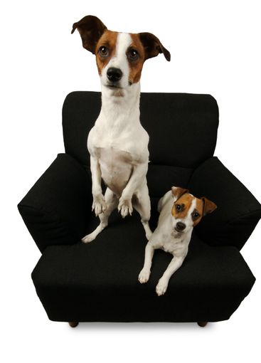 Two Jack Russell Terriers