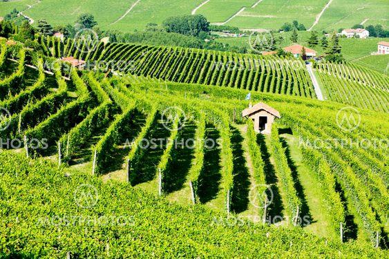 Vineyars lähellä Barolo, Piedmont, Italia